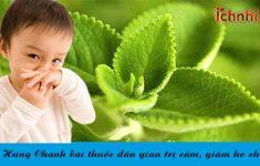 Húng Chanh bài thuốc dân gian trị cảm, giảm ho cho bé1