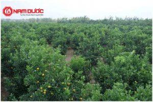 Siro Ho - Cảm Ích Nhi:Quy hoạch vùng trồng Quất theo định hướng tiêu chuẩn GACP-WHO