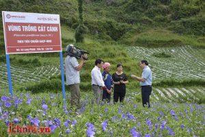 Siro Ho - Cảm Ích Nhi: Quy hoạch vùng trồng húng chanh, cát cánh theo tiêu chuẩn GACP-WHO