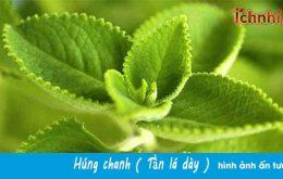 Vùng Húng chanh (Tần dày lá) tại Đồng Tháp của Ích Nhi3