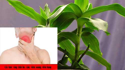 Tác dụng chữa viêm họng của cây lược vàng chữa viêm họng