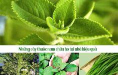 Tiết lộ những cây thuốc nam chữa ho tại nhà đơn giản, hiệu quả